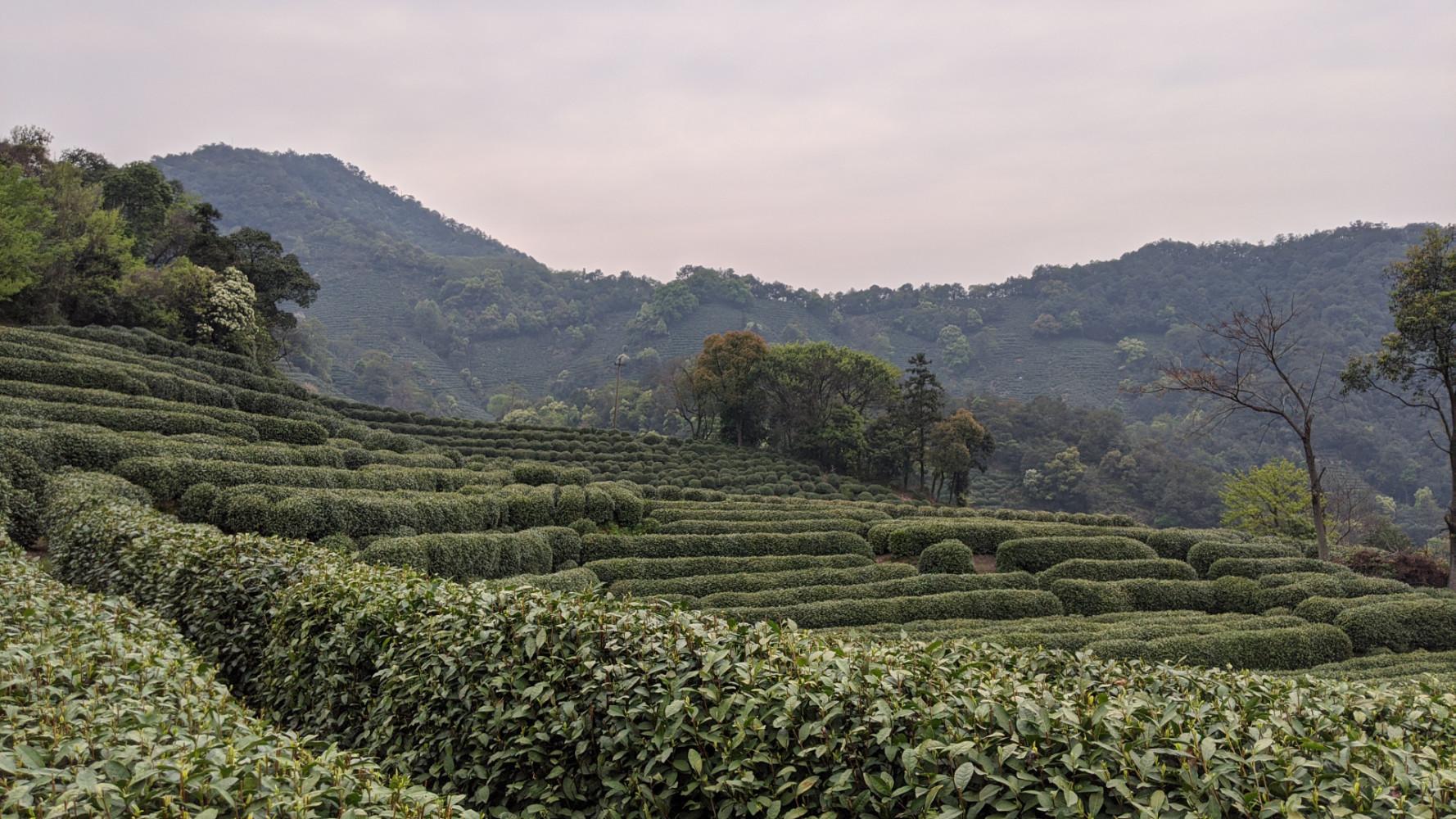 longjing_tea_garden